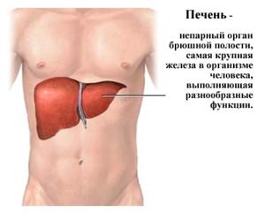 Печень в организме - незаменимый орган.