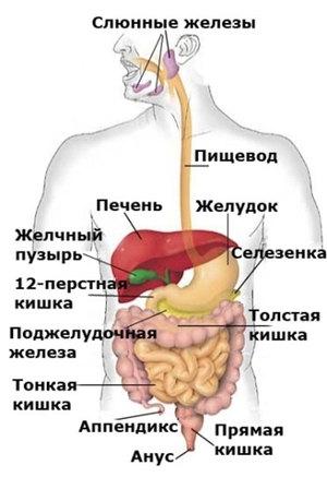 Как расположены внутренние органы человека, показано на рисунке.