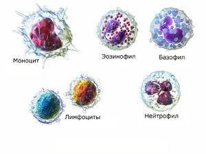 Лейкоциты и нормы